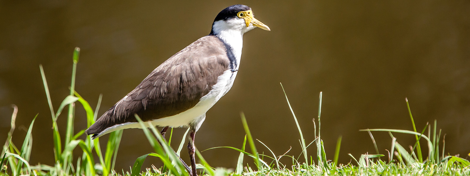 Masked Lapwing (Plover)