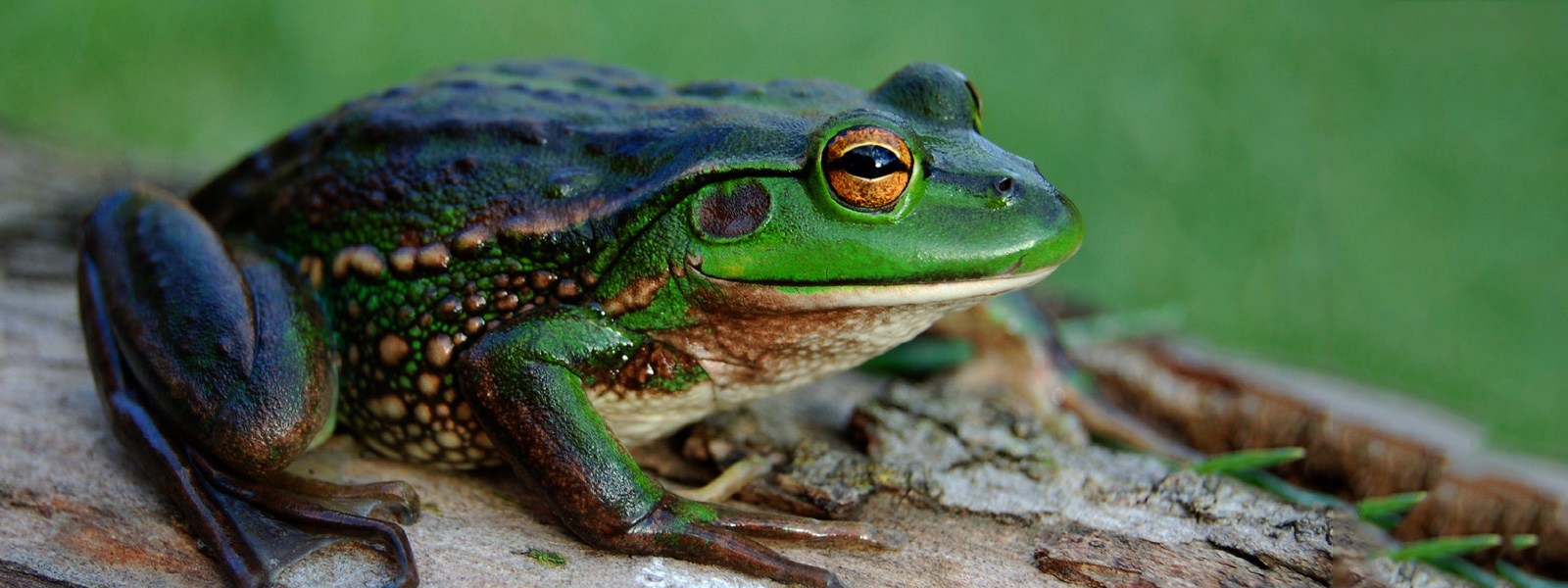 Green and Gold Frog