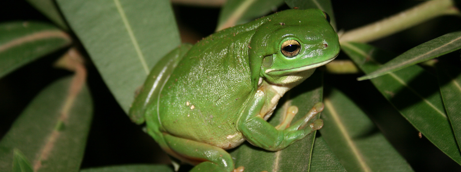 Green Tree Frog Credit: Emily Sephton