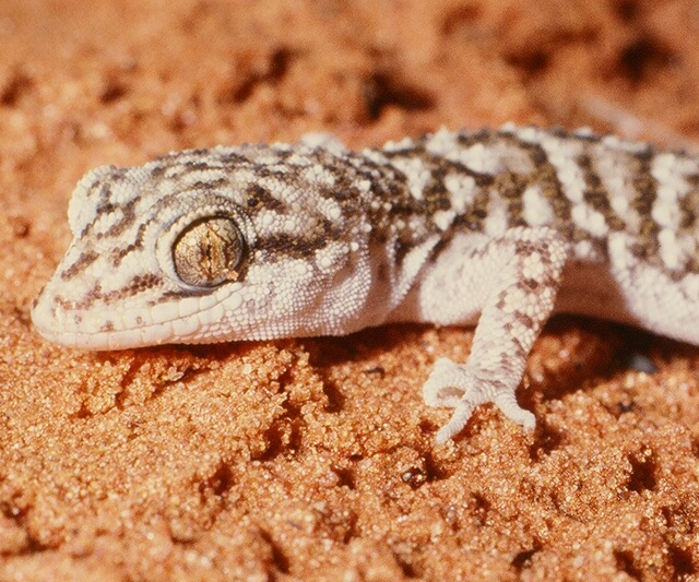 Broad-tailed Gecko