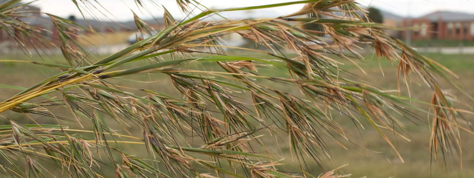 Seed giving grasses