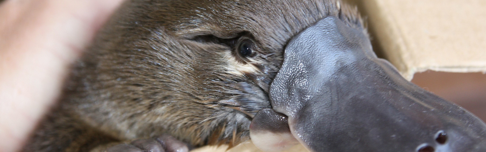 Shy, cute and endangered, Platypus. Photo credit: OEH